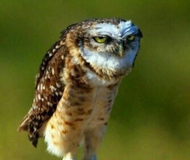 mad-owl